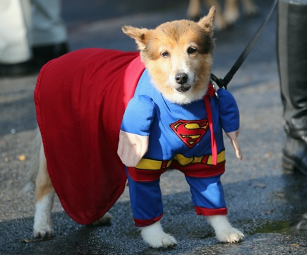 OLD WESTBURY, NY - SEPTEMBER 30: Dogs parade in costume during a Halloween contest at the Old Westbury Gardens on September 30, 2012 in Old Westbury, New York. (Photo by Bruce Bennett/Getty Images)