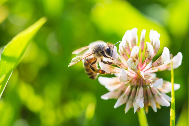 bee-working-on-white-clover-flower-close-up-picjumbo-com